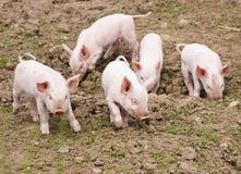 Piglets. Five tiny piglets on a farm stock photography