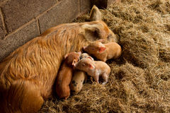 Piglets And Mum Stock Photos