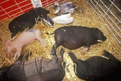 Piglets asleep in hay at petting zoo, Los Angeles County Fair, Pomona, CA Stock Photo