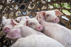 Piglets in a bamboo cage. Cute piglets inside a bamboo cage, ready for transportation Royalty Free Stock Photo