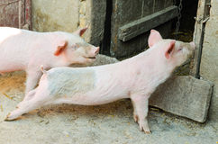Piglets Royalty Free Stock Photos