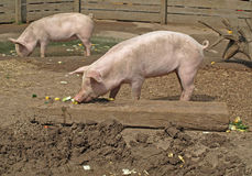 Piglets - danish landrace Stock Photos