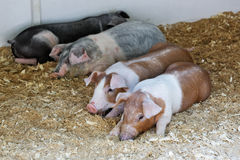 Piglets of different breeds Stock Image