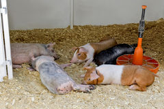 Piglets of different breeds Stock Photography