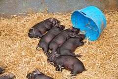 Piglets at The Dorset County Show Stock Photo