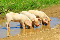 Piglets drinking water from puddle Stock Images