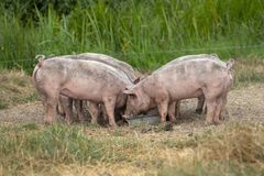 Piglets eat together from a metal trough, family dinner. stock photo