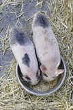 Piglets  eating. Piglets eating, detail in the foreground of two small pigs eating Stock Images