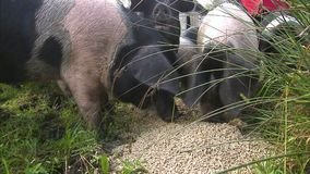 Piglets eating food. A medium shot of piglets eating a food stock footage