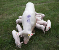 Piglets are eating milk in the mother breast Royalty Free Stock Image