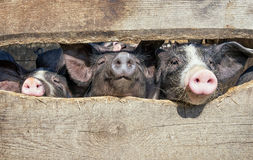Piglets. At a farm - behind a fence royalty free stock photo