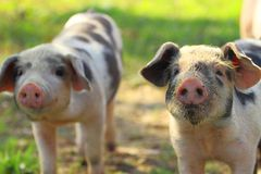 Piglets on farm Stock Photo