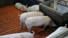 Piglets farm stock footage