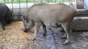 Piglets at a farm stock footage