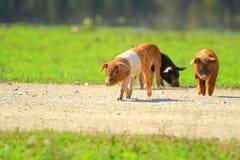 Piglets on farm royalty free stock photo