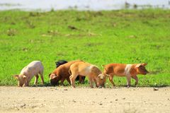 Piglets on farm stock photography
