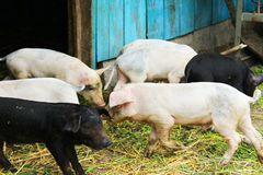 Piglets on a farm Royalty Free Stock Image