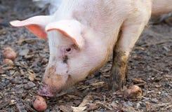 Piglets on farmyard Royalty Free Stock Photo