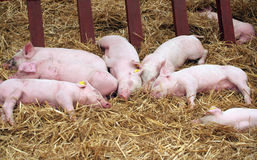 Piglets farrows on the hay Stock Image