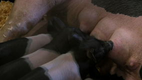 Piglets feed from Mother's nipples stock footage