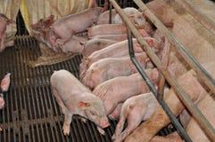 Piglets Feeding royalty free stock photography