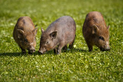 Piglets feeding. In the grass Stock Images