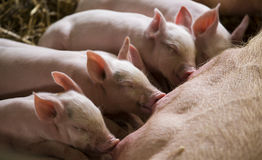 Piglets feeding from mother pig Royalty Free Stock Photo