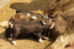 Piglets feeding Royalty Free Stock Images