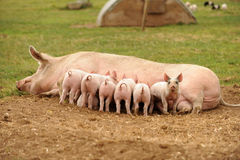 Piglets feeding from sow. Litter of piglets feeding from sow lying on ground Royalty Free Stock Photography