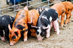 Piglets by the fence Royalty Free Stock Images