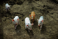 Piglets. Four color piglets together and one alone Royalty Free Stock Images