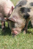 Piglets on grass. Piglets eating clean grass in sunny weather stock photography