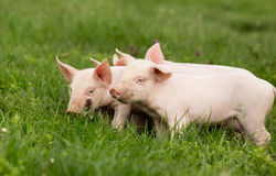 Piglets on grass. Cute piglets standing and nudging on grass stock images