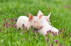 Piglets on grass Royalty Free Stock Image