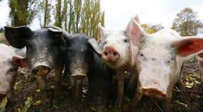 Piglets Stock Photo