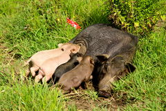 Piglets having a feed Royalty Free Stock Images