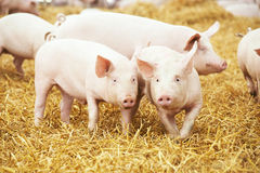 Piglets on hay and straw at pig breeding farm