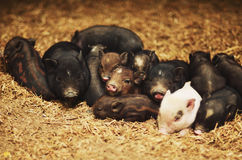 Piglets Stock Photos