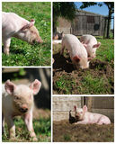 Piglets high resolution compilation. Compilation of various pictures of little piglets outside on a small biological farm. Compilation of 4 high resolution stock images