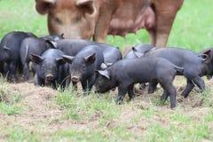 Piglets Royalty Free Stock Photos