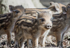 Piglets Stock Images