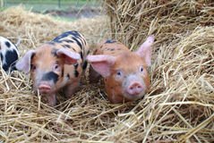 2 piglets looking at camera Royalty Free Stock Photography