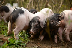Piglets looking for foods Royalty Free Stock Image