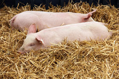 Piglets lying in the hay Stock Images