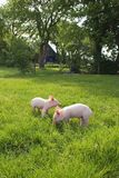 Piglets in Meadow. Two happy piglets in a green grassy meadow, with the biological farm between the trees in the backround Stock Images