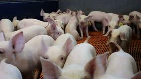 Piglets on modern farm stock video footage