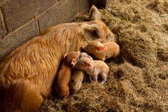 Piglets and mum Stock Photos