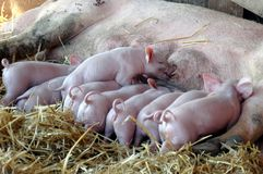 Piglets nursing. Seven day old piglets nursing with their mother Stock Photography