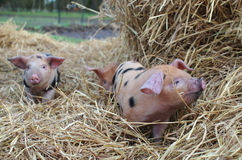 3 piglets oxford and sandy black Stock Images