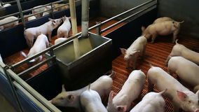Piglets in the pen. Fattening pigs in the pen on a modern farm, video clip stock footage